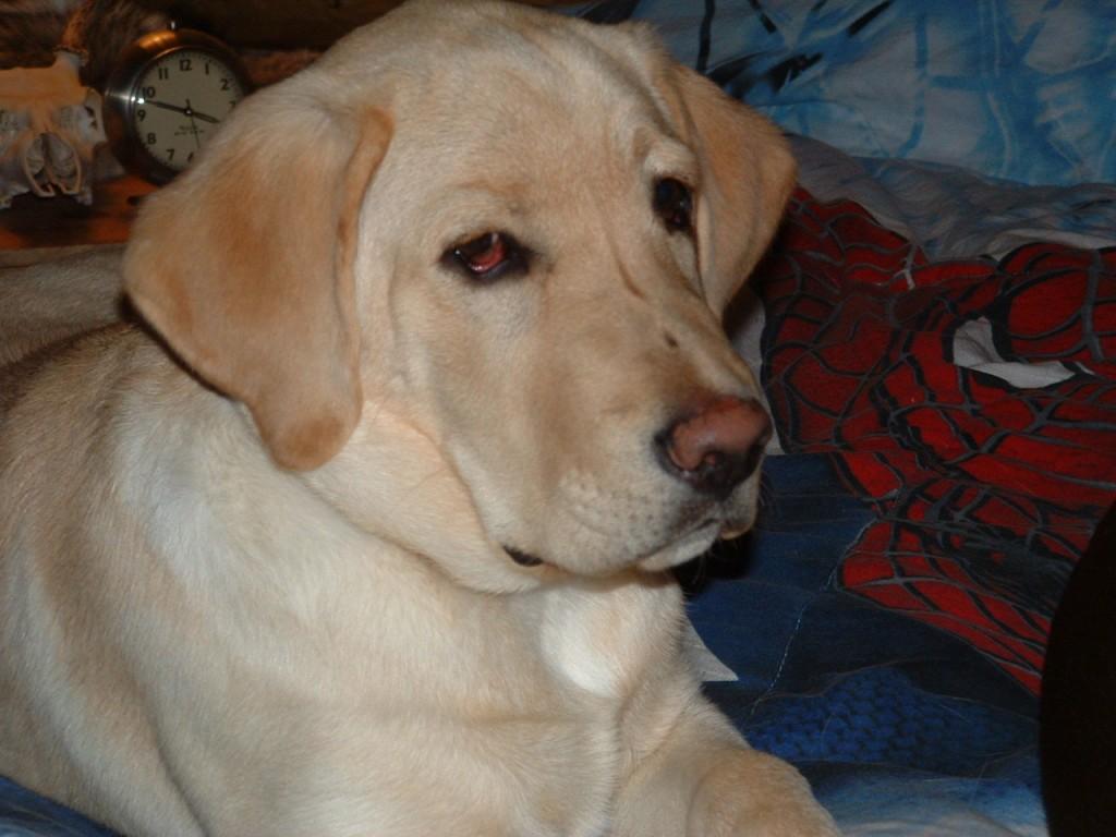 Cody, Lab Retriever
